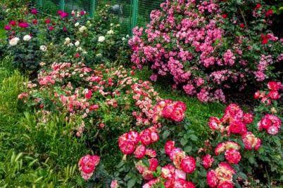 v-zaporozhskom-botsadu-obilno-czvetut-rozy-foto.jpg