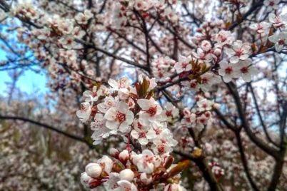 v-zaporozhskom-botsadu-vovsyu-czvetut-sakura-i-magnolii-foto-video.jpg