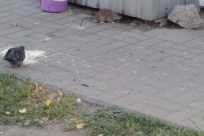 v-zaporozhskom-kioske-s-polufabrikatami-poselilis-krysy-foto.jpg