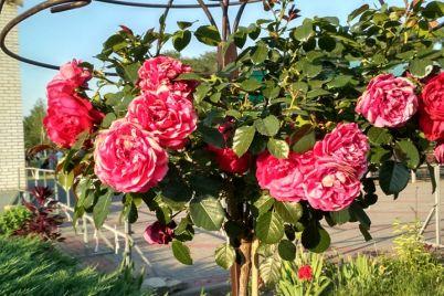 v-zaporozhskom-parke-rasczveli-rozy-kotorye-menyayut-czvet-foto.jpg