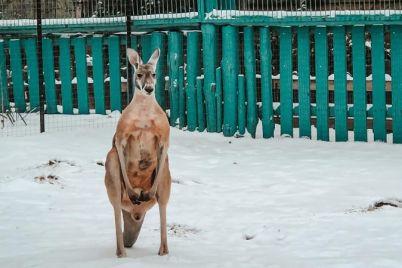 v-zooparke-zaporozhskoj-oblasti-kenguru-raduetsya-snegu-foto.jpg