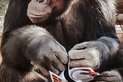 v-zooparke-zaporozhskoj-oblasti-pokazali-sereznogo-shimpanze-foto.jpg