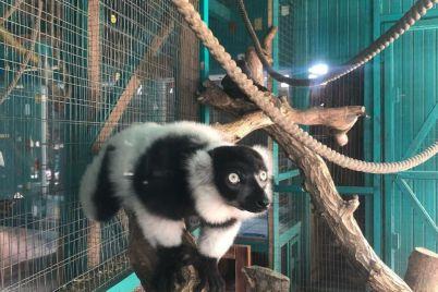 v-zooparke-zaporozhskoj-oblasti-zhivet-milyj-lemur-lyamik.jpg