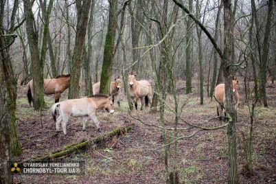 vozrozhdenie-prirody-v-chernobylskoj-zone-otchuzhdeniya-zametili-redkih-zhivotnyh-1.jpg