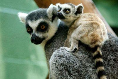 vse-vklyucheno-v-berdyanskom-zooparke-otkryli-pyatizvyozdochnyj-otel-dlya-lemurov-video.jpg