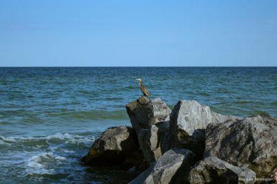 zaporozhskij-fotograf-zapechatlel-pticzu-s-pomoshhyu-kotoroj-v-kitae-lovili-rybu-foto.jpg