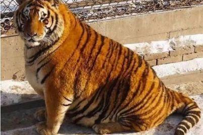 zhittya-prodovzhud194tsya-v-melitopolskomu-zooparku-narodilis-amurski-tigrenyata-foto.jpg